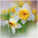 Daffodils Bring the Spring