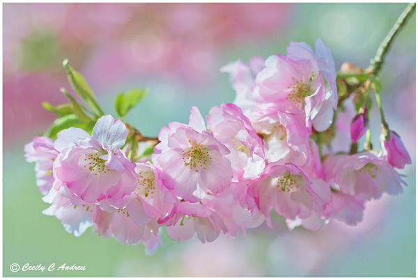 Sakura Kiss by CecilyAndreuArtwork
