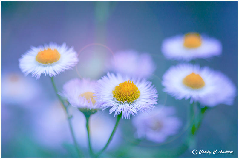 Daisy Choir by CecilyAndreuArtwork