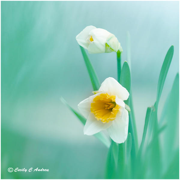 Daffodil by CecilyAndreuArtwork