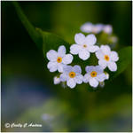 White Forget-Me-Nots