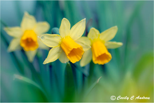 Daffodiles by CecilyAndreuArtwork