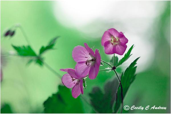 Wild Geranium by CecilyAndreuArtwork