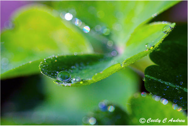 Clover With Water Drops by CecilyAndreuArtwork