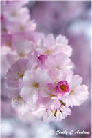 Dreaming of Cherry Blossoms II by CecilyAndreuArtwork