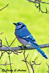 Blue Jay by CecilyAndreuArtwork