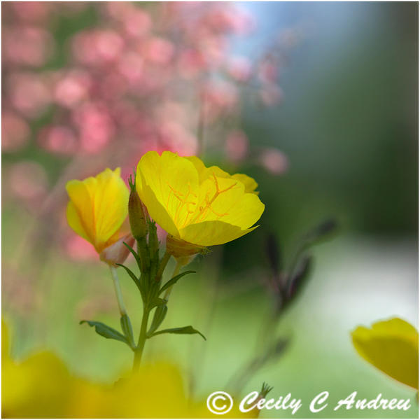 Evening Primrose by CecilyAndreuArtwork