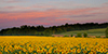 Sunflowers At Dawn Avatar by CecilyAndreuArtwork