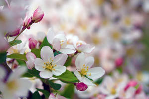 Blooming Crabapple tree