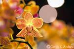 Orchid In Spotlight
