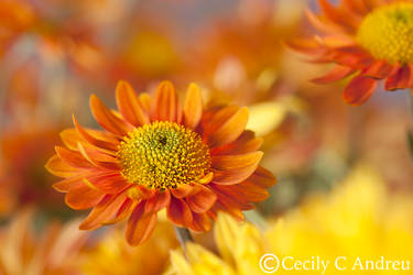 Daisy Mums by CecilyAndreuArtwork