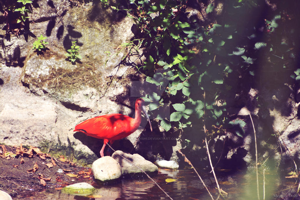 Red ibis by MegumiOishi