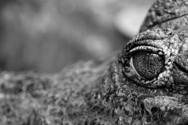 Crocodile Glance by SycamoreHeart
