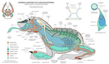 Ea: Anatomy of Diplostomia