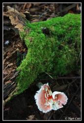 Pink Rose by ikari-luis