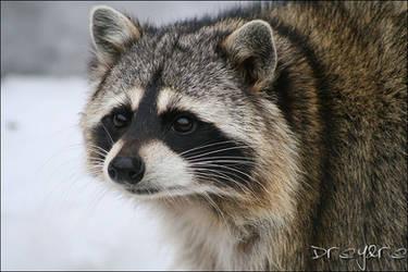 Raccoon by dreydre