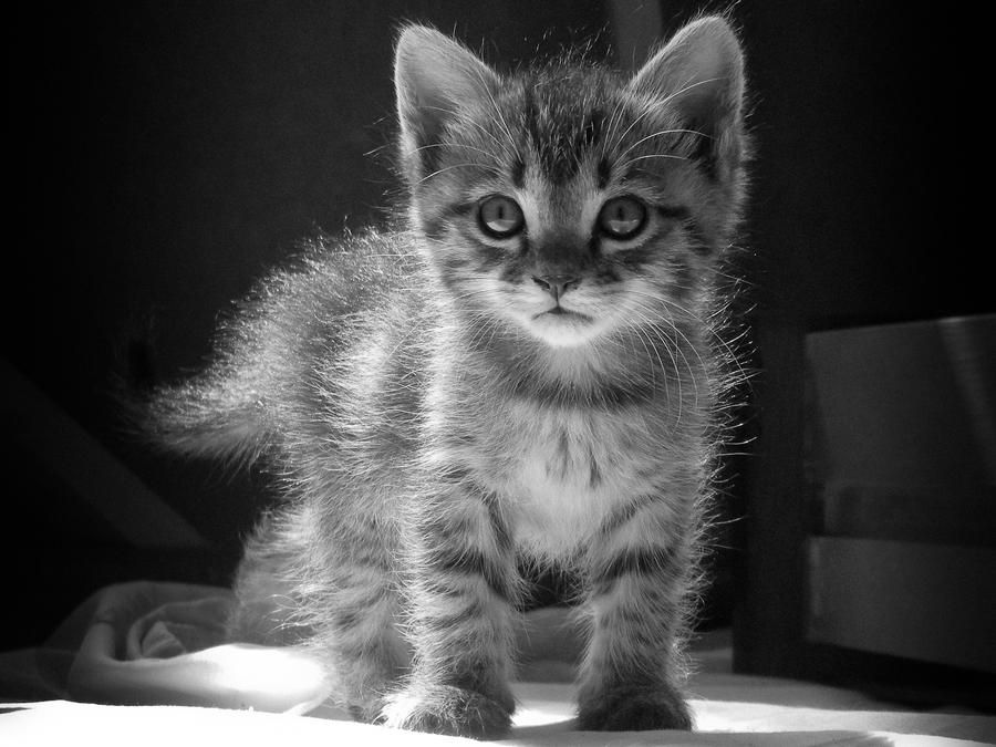 Kitten 1 by dimichael
