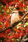 Laughing Kookaburra by TaGiRoCkS