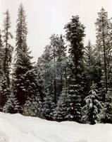Trees in Snow by mackilvane
