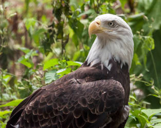 Bald eagle by Vargon62