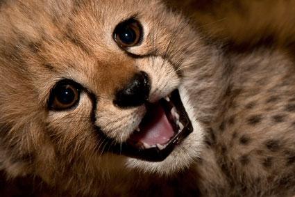 cheetah cub by o0bon-bon0o