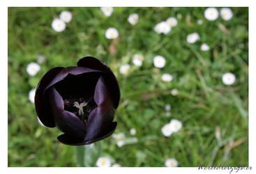 Black tulip by Wereldreizigster