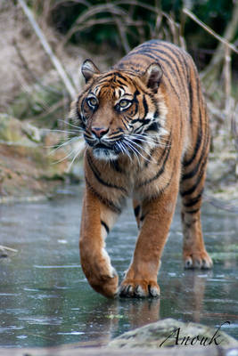 Tiger on thin ice...