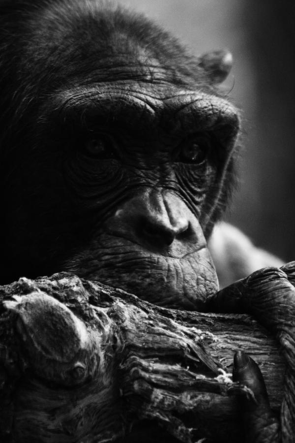 Chimp by Wereldreizigster