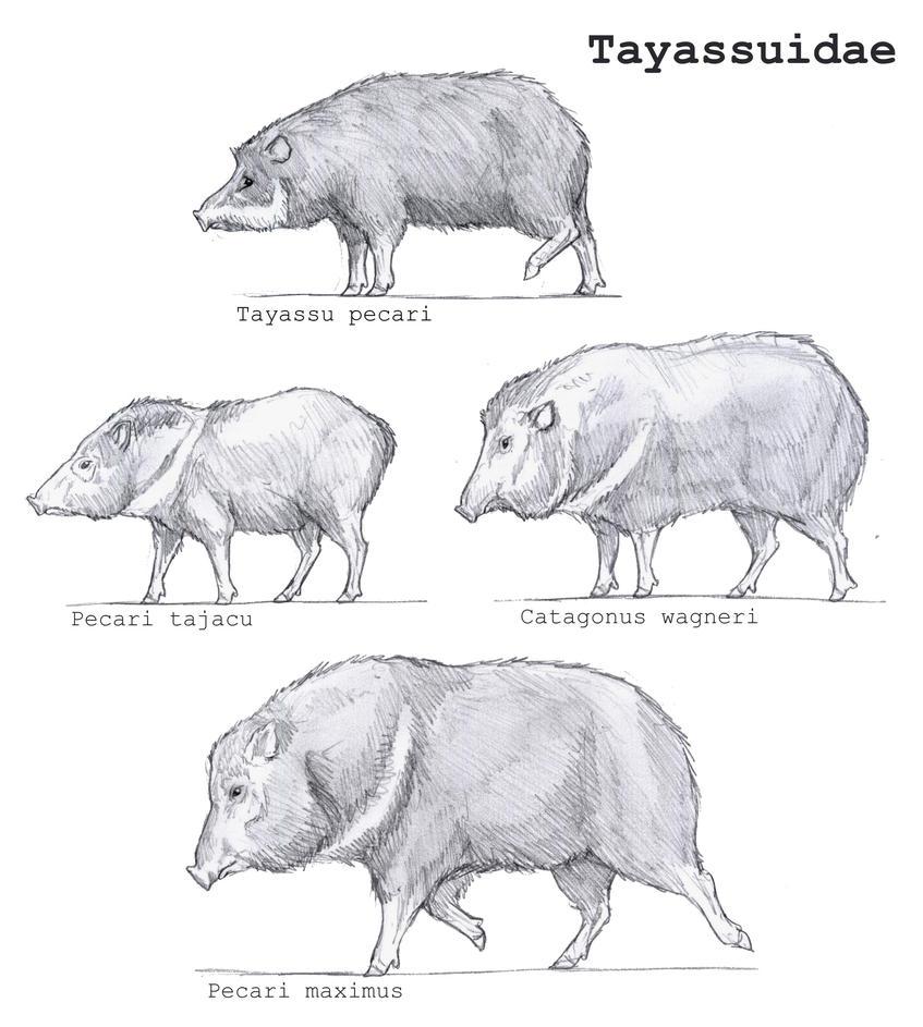 Tayassuidae by Gredinia