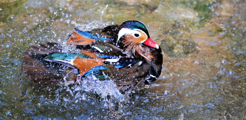 Mandarin duck by Gredinia