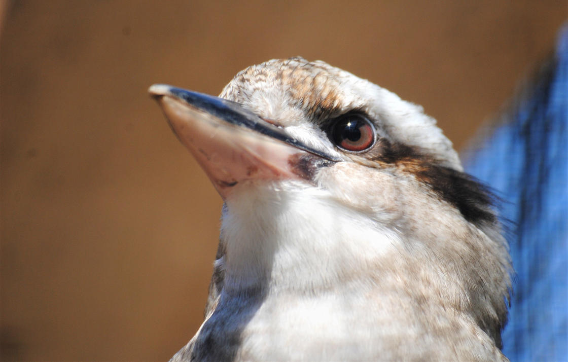 Laughing kookaburra by Gredinia