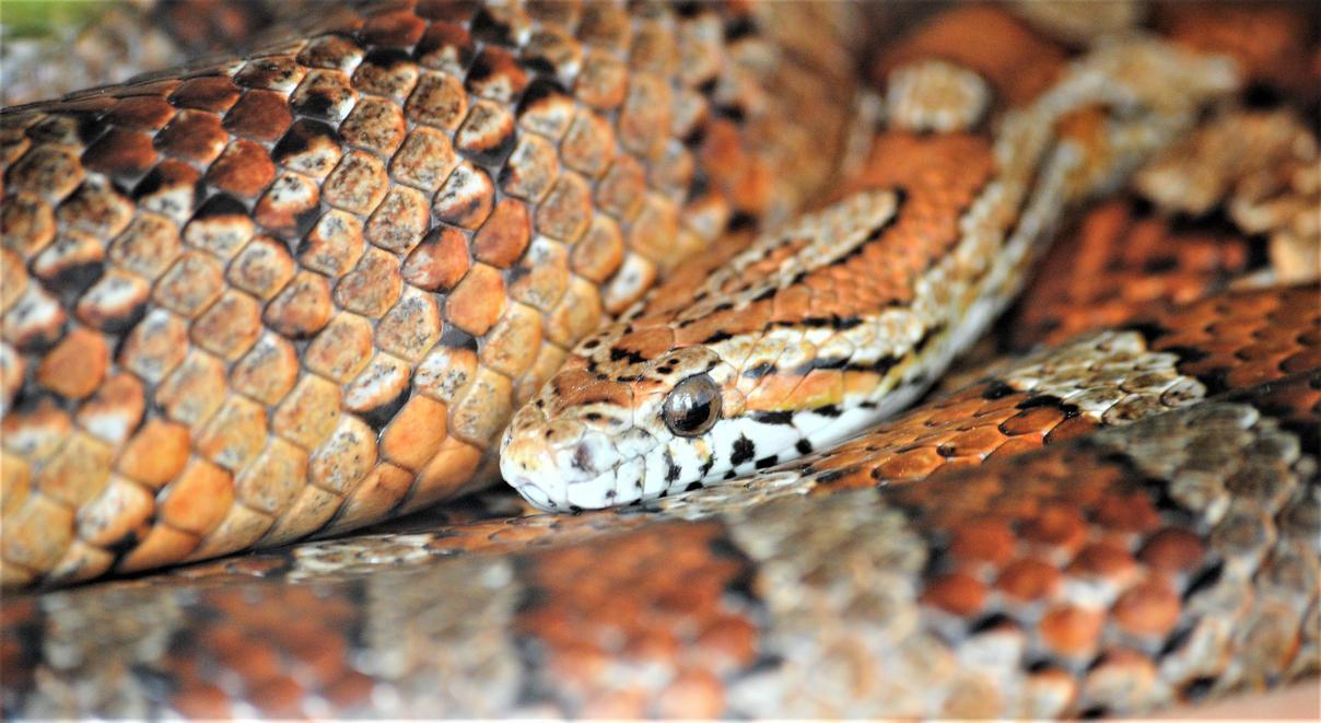 Corn snake by Gredinia