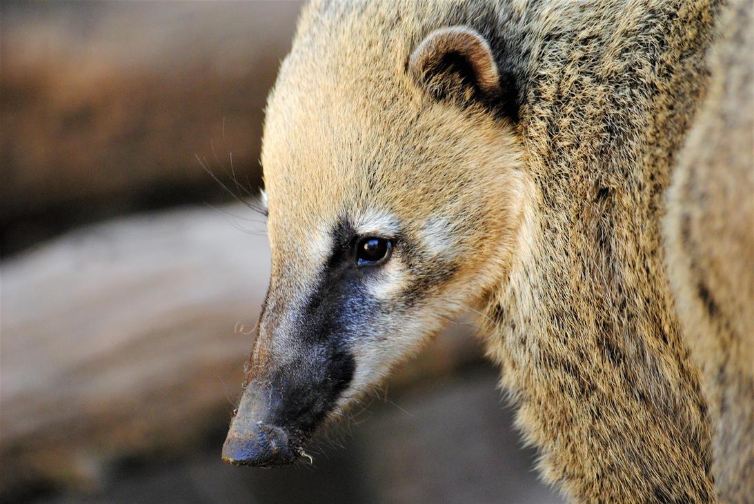 South American coati by Gredinia