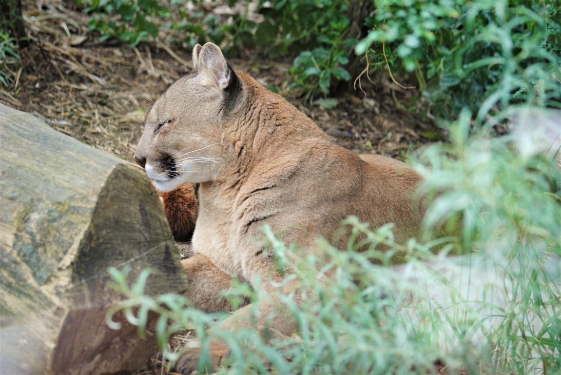 Southern cougar