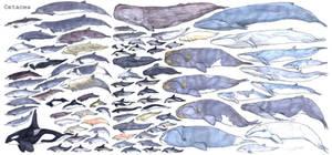 Whippomorpha 2 : Cetacea