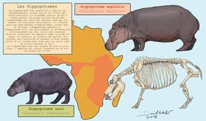 Whippomorpha 5 : Hippopotamidae