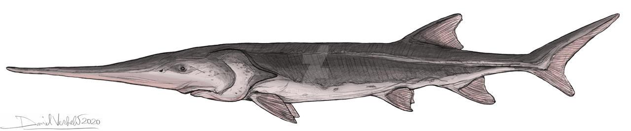 Chinese paddlefish