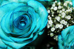 The Blue Roses