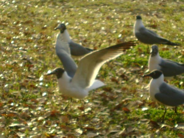 Seagulls 18 by princesslillymono