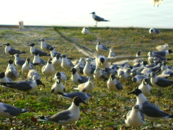 Seagulls 20 by princesslillymono