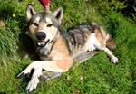 Life Sized Wolf Plush