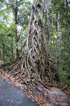 Rainforest 001 - Roots