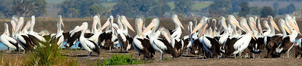just a few pelicans