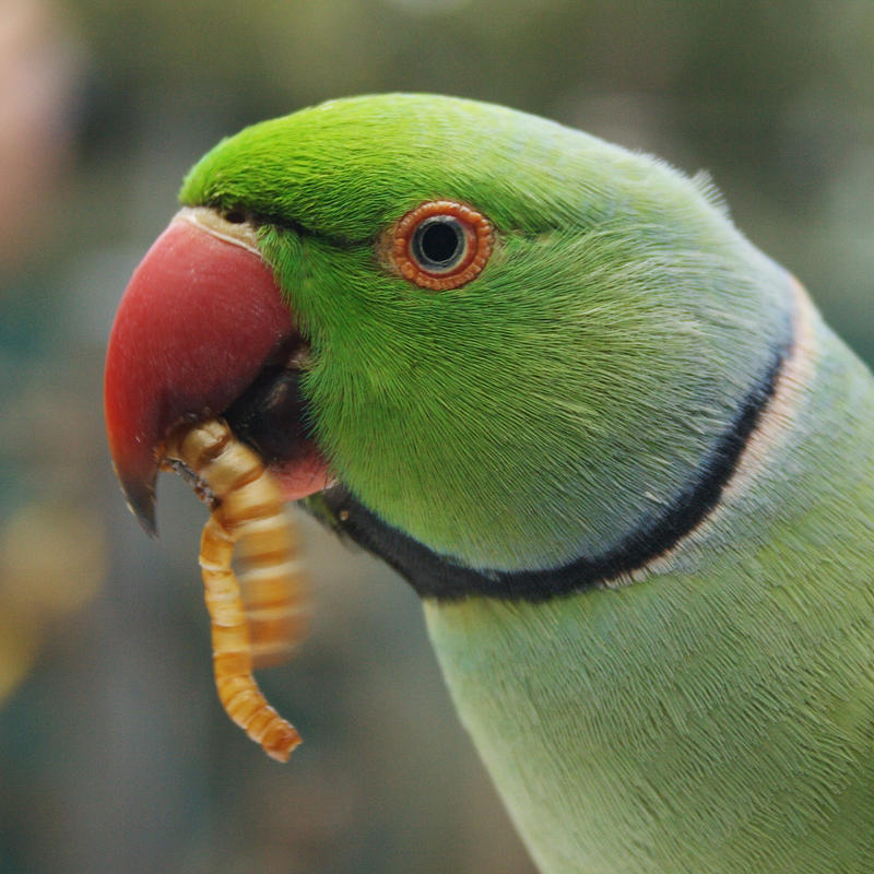 Indian Green Parrot Baby Green Indian Ri...