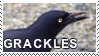 grackles by catnip5