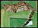 Geoffroy's Cat 2