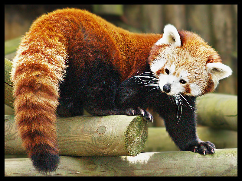 Red Panda 1 by DeadlyDonna