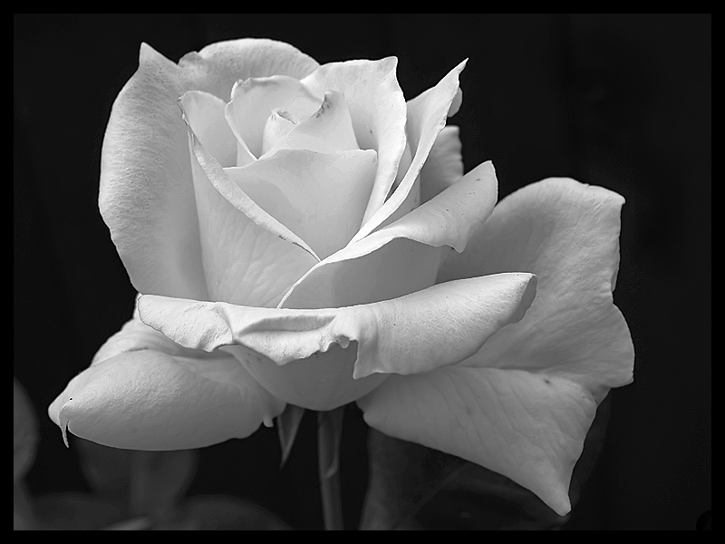 Black and white rose bud by deadlydonna