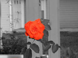 Rose by jar-of-urine