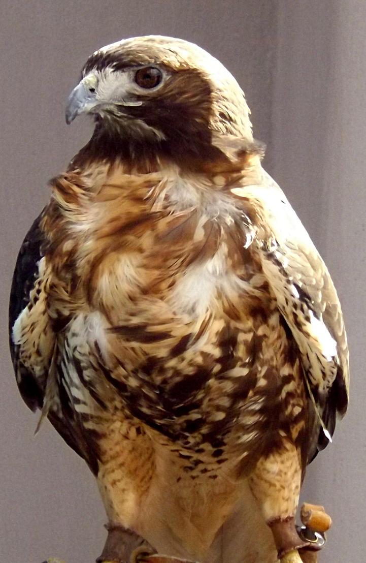 Red-tailed Hawk by organizationXIIIfan1